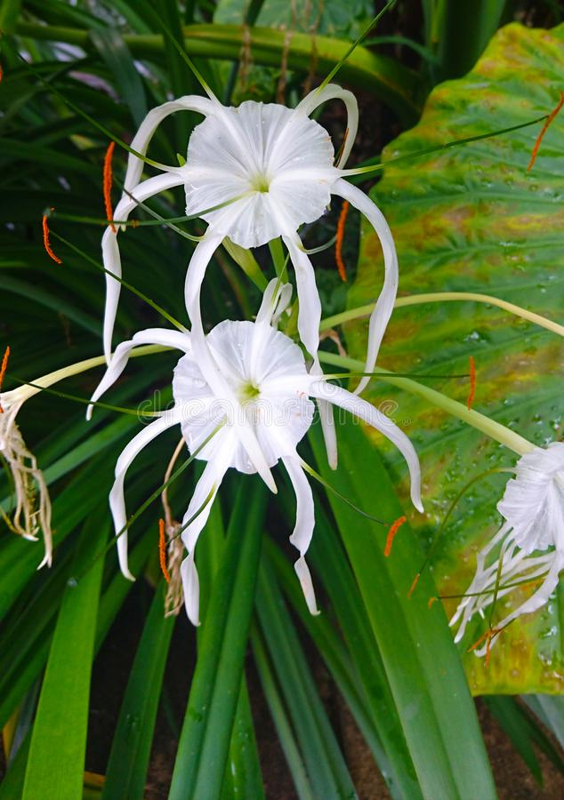 White cool flower plant in the garden. With drooping petals stock photos