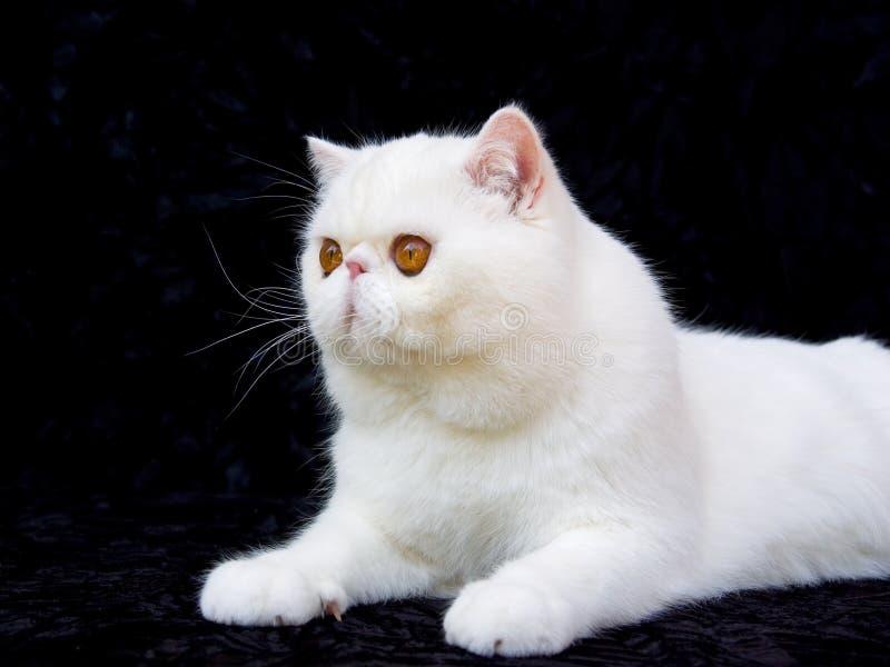 Download White Copper Eye Exotic Persian On Black Velvet Stock Image - Image of lying, down: 7951071