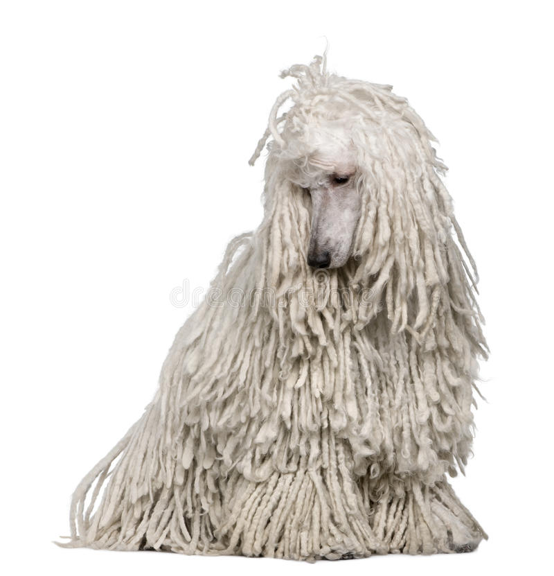 White Corded standard Poodle sitting. In front of white background royalty free stock photo