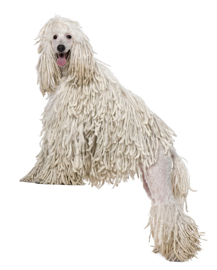 White Corded standard Poodle standing royalty free stock photography