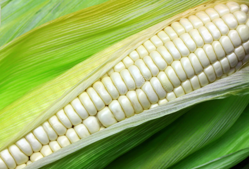 White corn. Varieties. Grown in Thailand royalty free stock photo