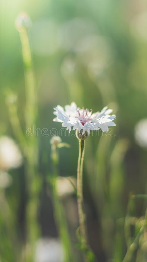 White cornflower flower on a sunny meadow closeup. White cornflower flower on a sunny meadow close-up royalty free stock photos