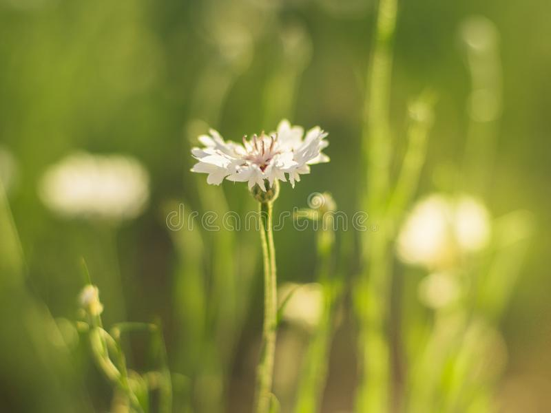 White cornflower flower on a sunny meadow close-up.  royalty free stock photos
