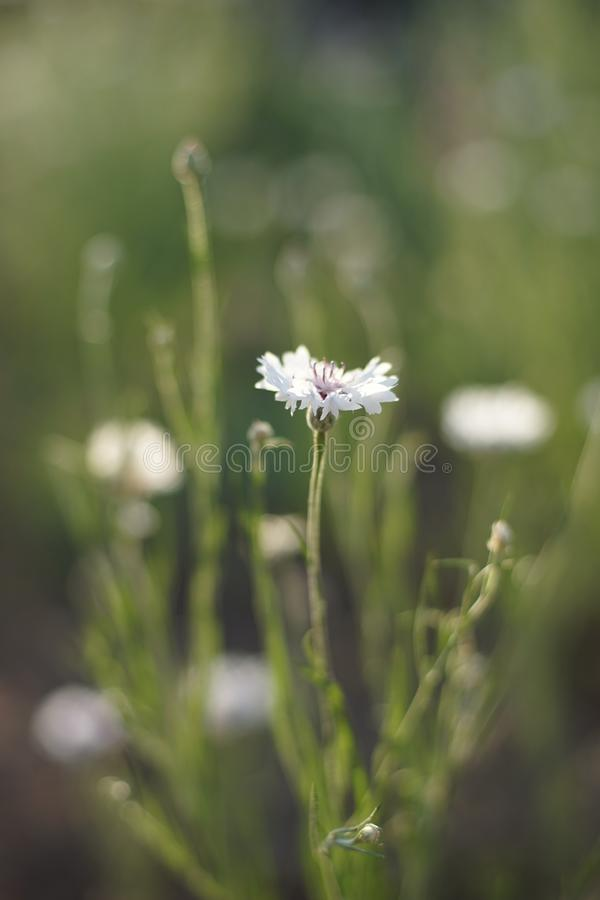 White cornflower flower on a sunny meadow close-up.  royalty free stock image