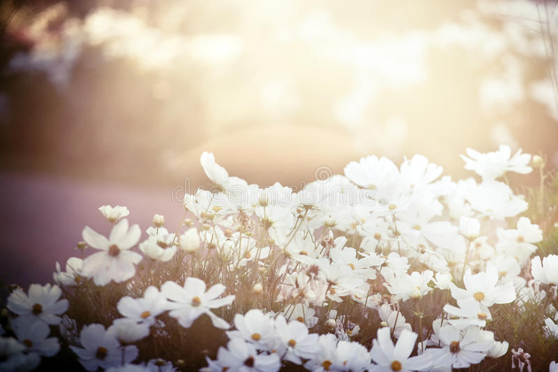 Download White cosmos stock image. Image of beauty, grass, morning - 21161145