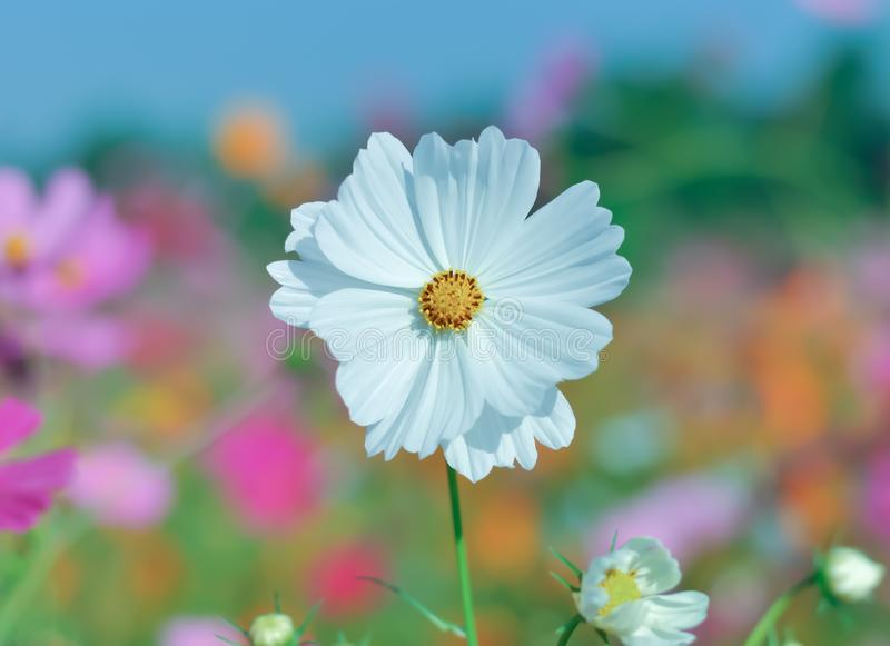 White Cosmos Flower. Beautiful cosmos flower in the garden royalty free stock image