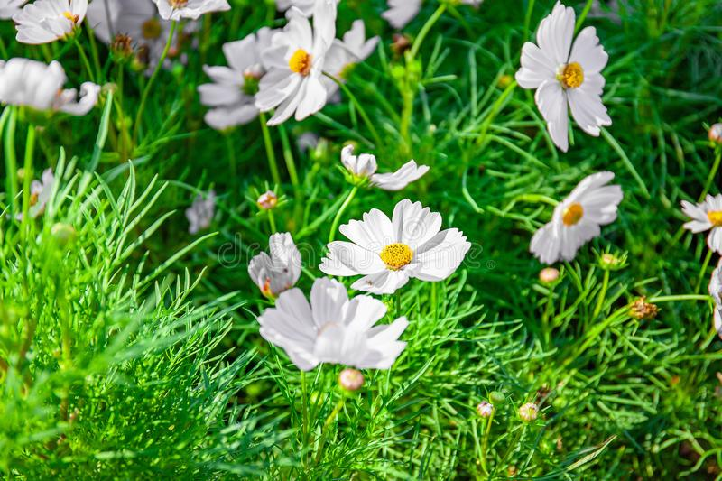 White cosmos flower blooming in garden. A group of white cosmos flower blooming in the garden, Close-up royalty free stock image