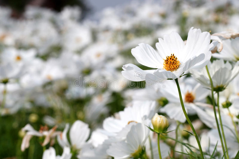 White cosmos flower in the nature royalty free stock images