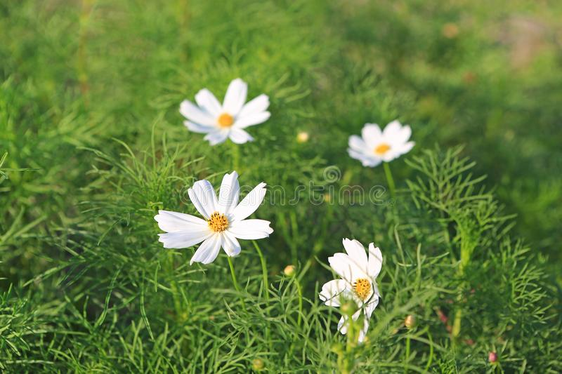 White Cosmos flower in nature garden royalty free stock image