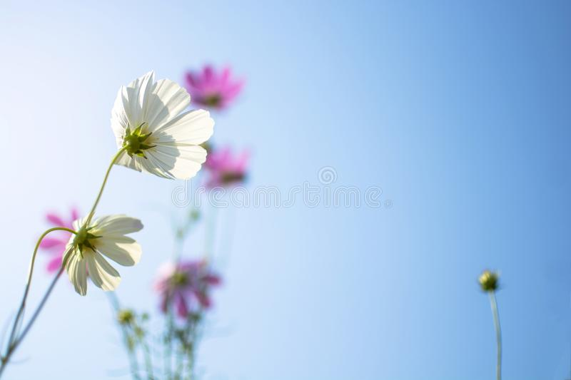 White cosmos flowers Cosmos Bipinnatus in the garden with blurred purple cosmos flower on blue sky stock photos