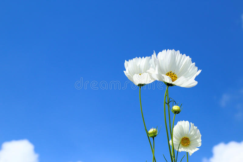 White cosmos in flowers fields. White cosmos in flowers fields againt blue sky stock images