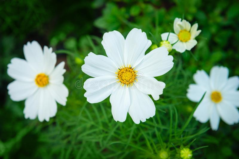 Download White Cosmos Genus Plant Flowers With Green Backrounds Stock Photo - Image of nature, flowering: 109753974