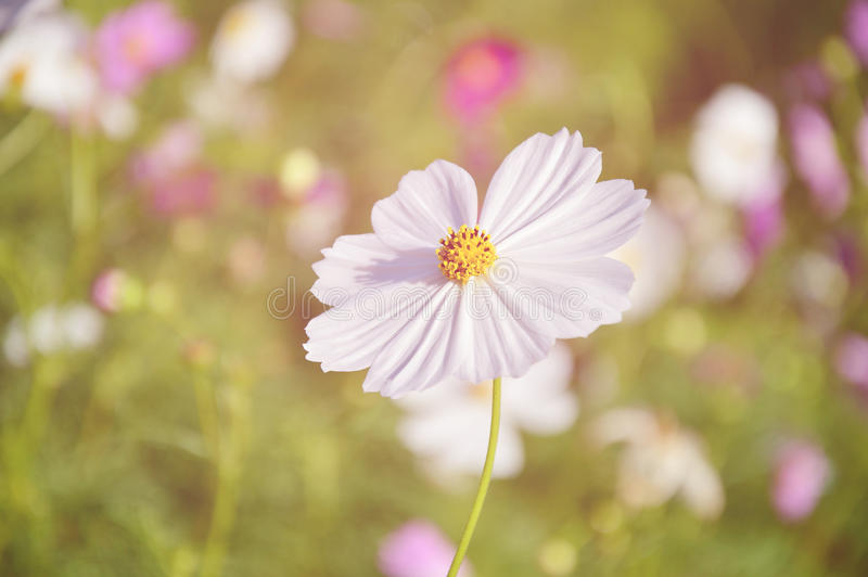 White cosmos with vintage soft light. White cosmos with vintage soft light, selective focus royalty free stock photos