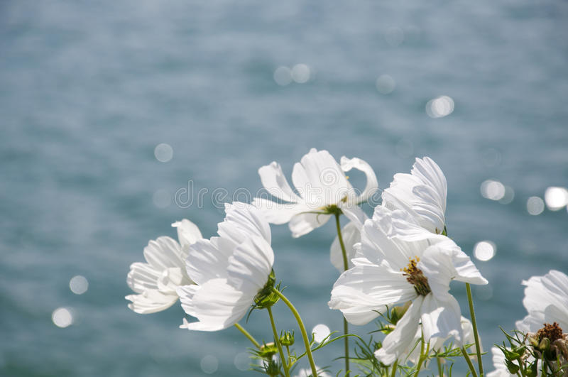 White Cosmos on a windy day royalty free stock photo