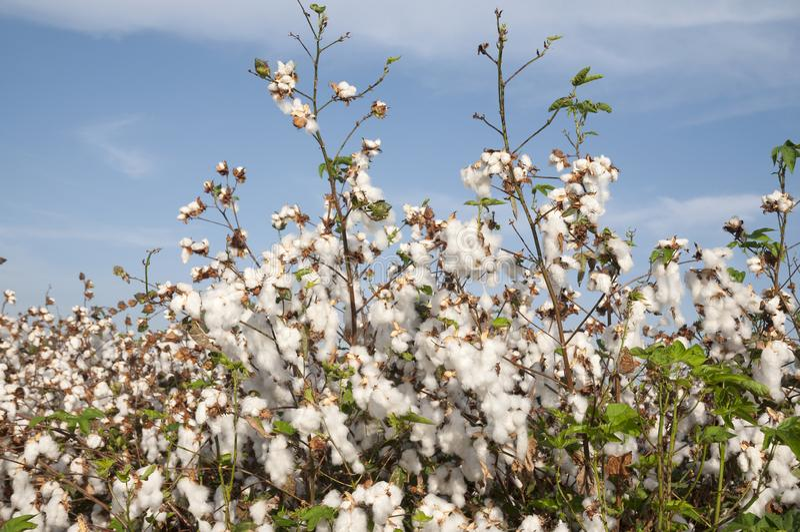 White cotton Field stock image