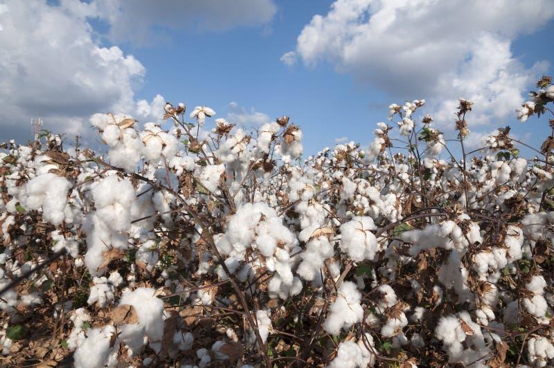 White Cotton field royalty free stock photo