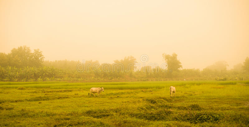 White Cow Asia on Meadow field. And Fog background stock photography