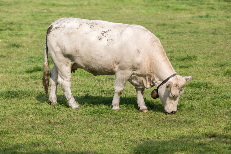 Download White cow in Dutch pasture stock image. Image of calf - 33606213