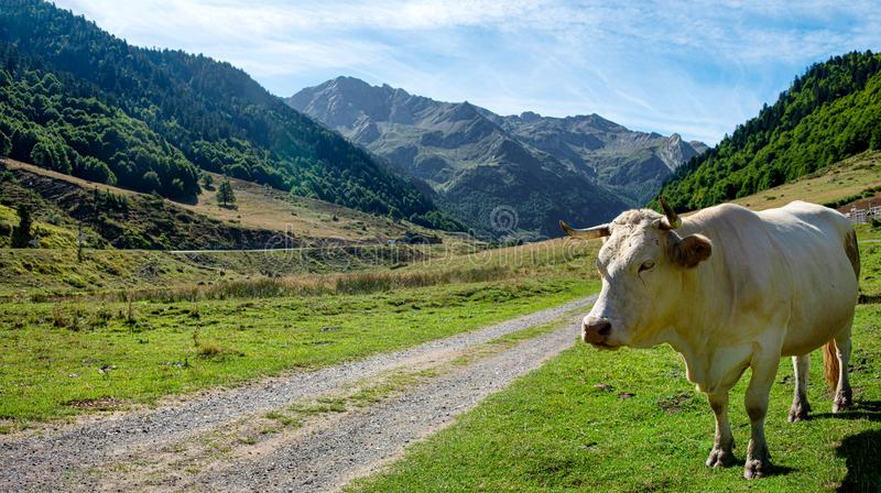 White cow grazing in the Valley d`Ossau in the french Pyrenees. A white cow grazing in the Valley d`Ossau in the french Pyrenees stock photography