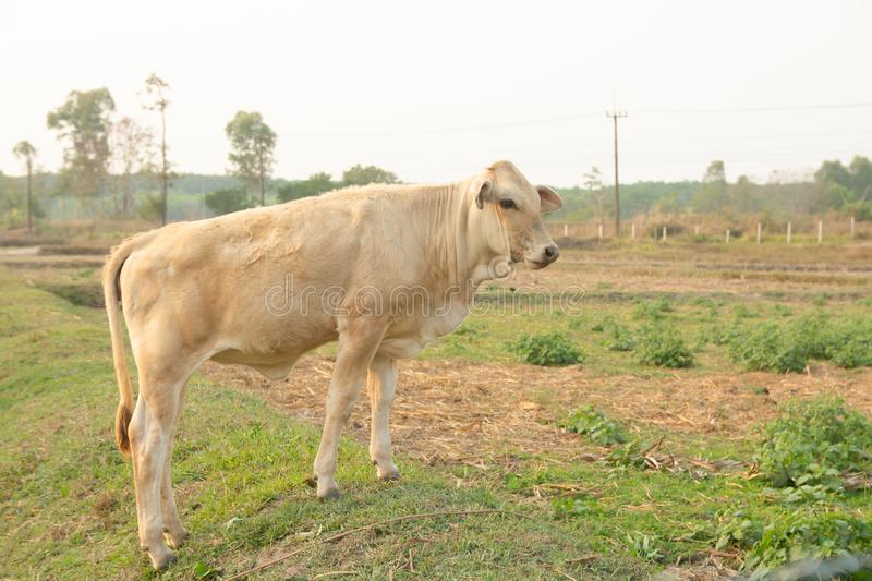 White cow on meadow. White cows in the midle of farm stock photos
