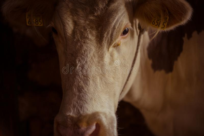 White cow in a stable. Farm concept royalty free stock image