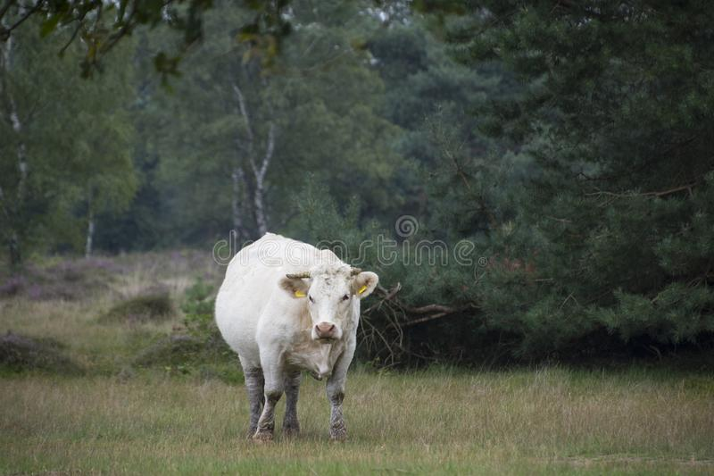 White cow standing in the grass at the farm royalty free stock image