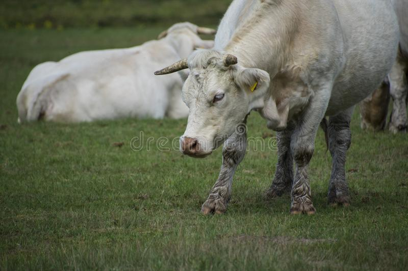 White cow standing in the meadow at the farm royalty free stock photos