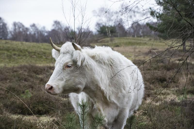 White cow standing in the meadow at the farm royalty free stock photo