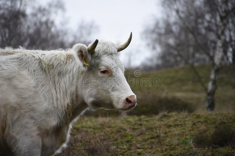 White cow standing in the meadow at the farm stock photo