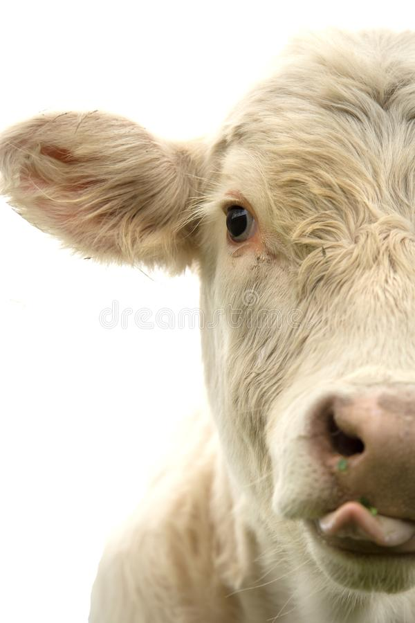 White cow with tongue out. Half face of a beautiful white cow with tongue out isolated on a white background stock image