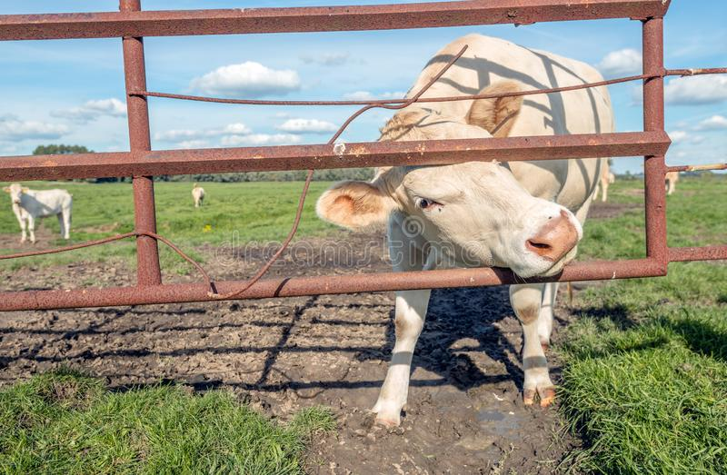 White cow turns its head through a rusty iron gate to pose well stock photos