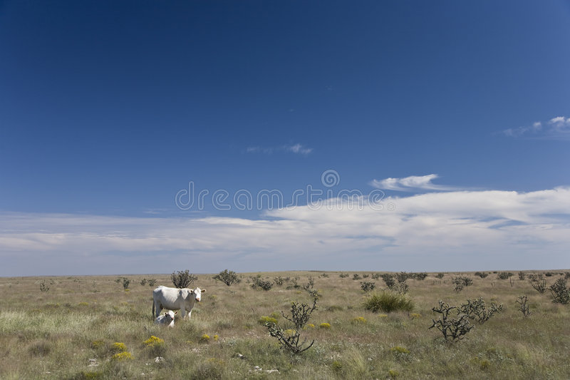 Download White cows stock image. Image of countryside, country - 6995275