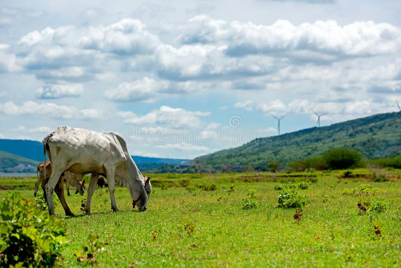 White cows on green alpine meadow.  Mountains with wind turbine on background stock images