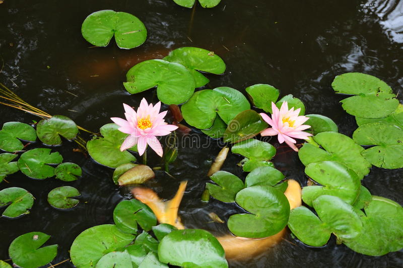 White Coy Fish In A Pond With Lily Pads stock photography