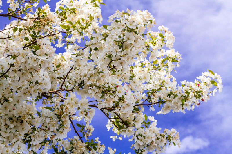 White Crab Apple Trees in Spring Bloom stock photo