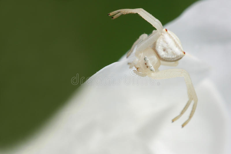 White crab spider 1 stock photography