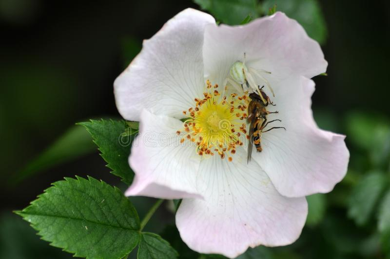WHITE CRAB SPIDER. IN FLOWER EATING WASP stock photos