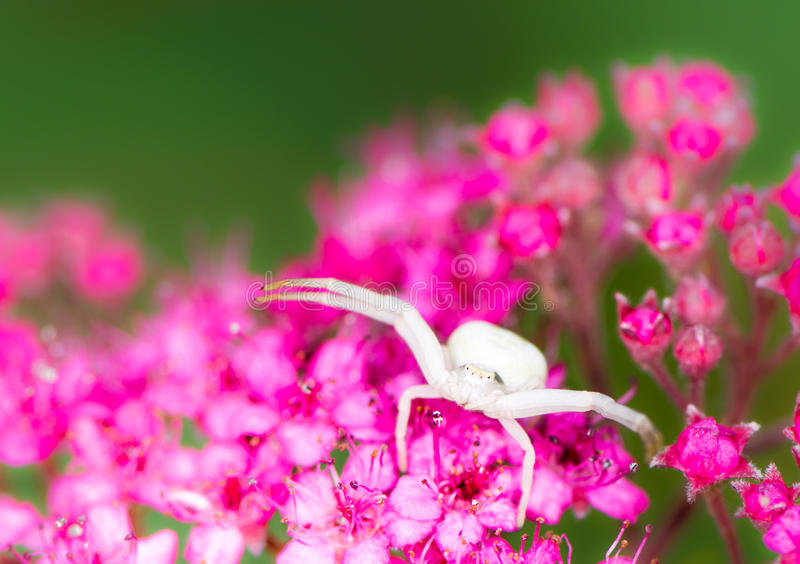 White crab spider. Macro of a white crab spider (Misumena vatia) on a Spiraea japonica flower royalty free stock images