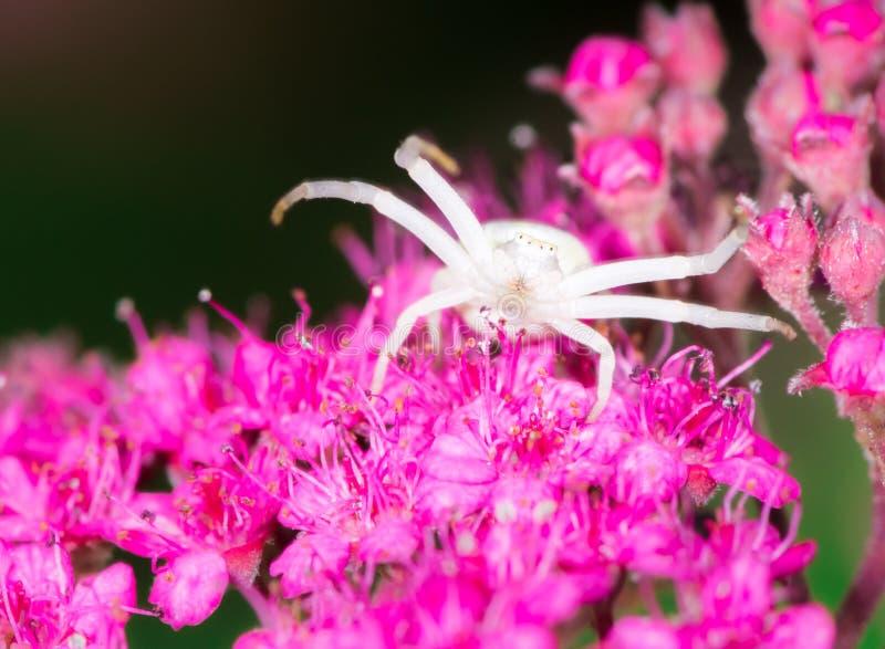 White crab spider. Macro of a white crab spider (Misumena vatia) on a Spiraea japonica flower royalty free stock photos