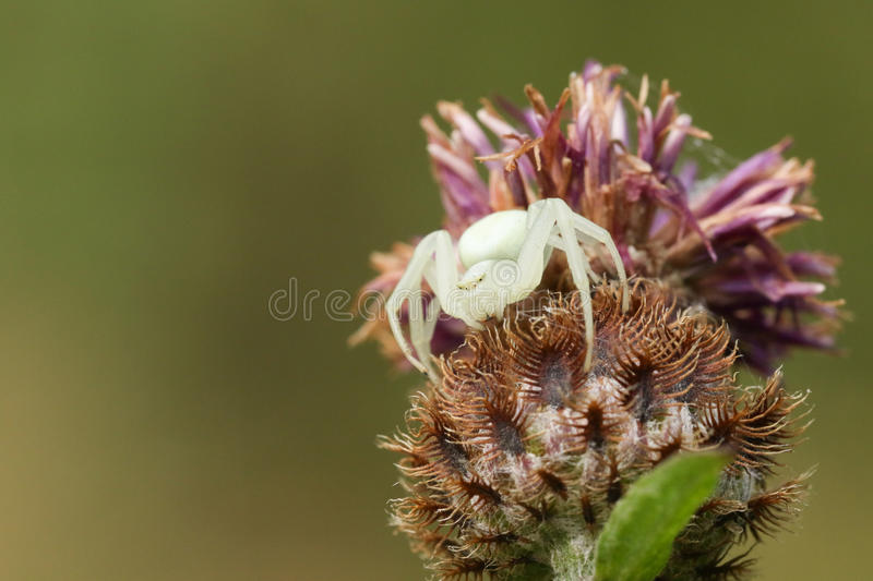 A white Crab Spider Misumena vatia perched on a flower waiting for its prey to land on the flower and nectar. royalty free stock photos