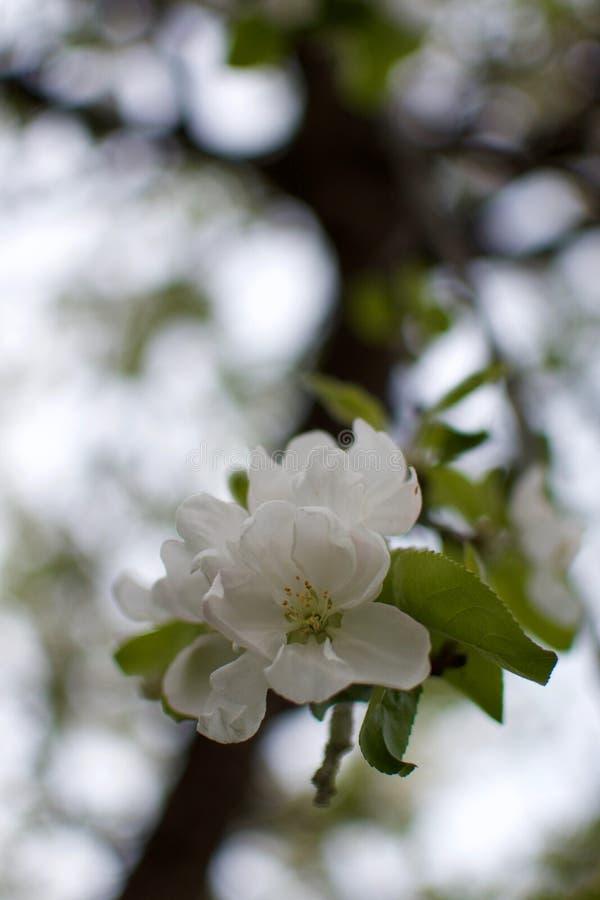 White Crabapple tree blossom closeup stock images
