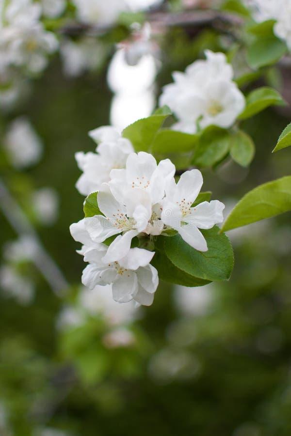 White Crabapple tree blossom closeup. Isolated White Crabapple tree blossom closeup stock images