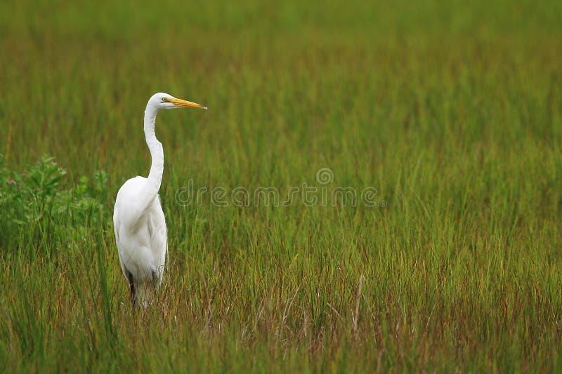 White Crane royalty free stock photo