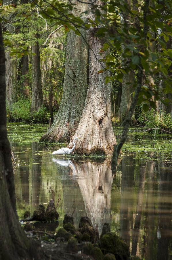 White Crane in Swamp. Area near cypress tree with reflection stock photography