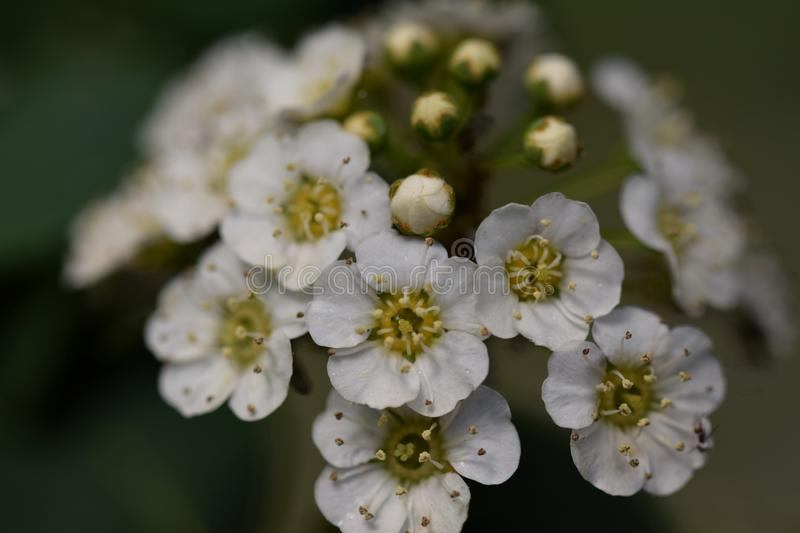 White Crataegus flowers stock images