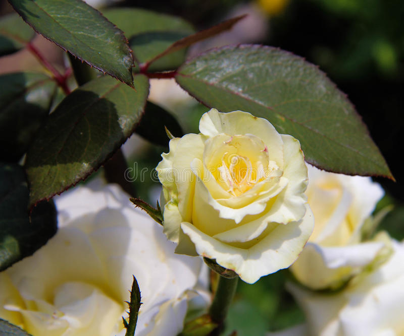 White cream rose summer background stock photography