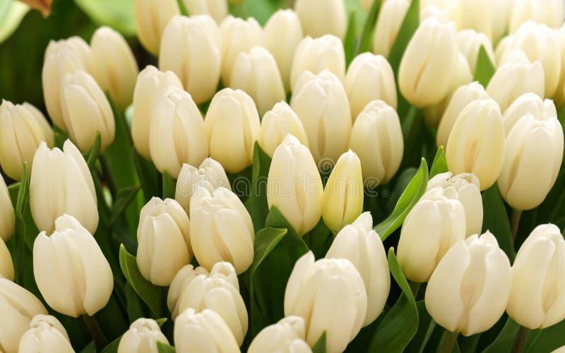 White cream tulip flowers in spring garden, park. White cream tulip flowers in spring garden, park royalty free stock photo