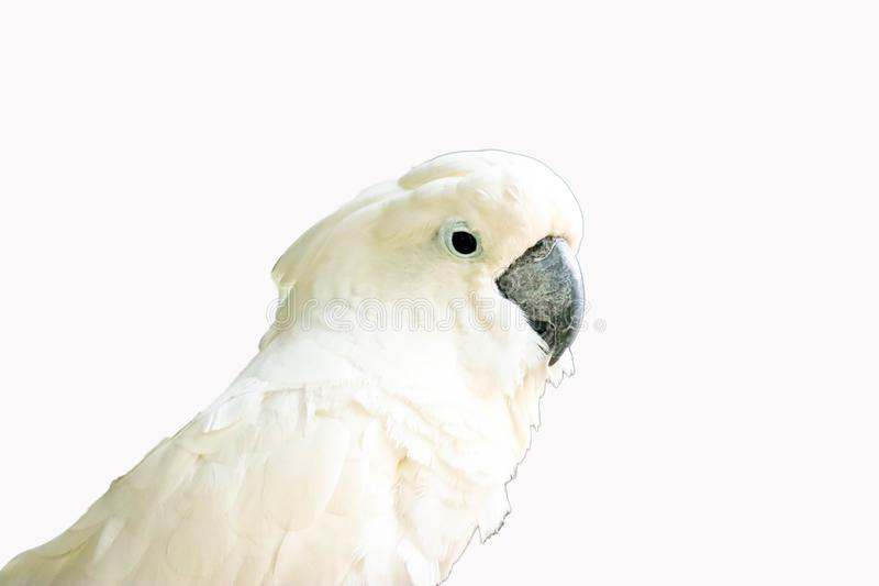White -crested cockatoo isolated stock image