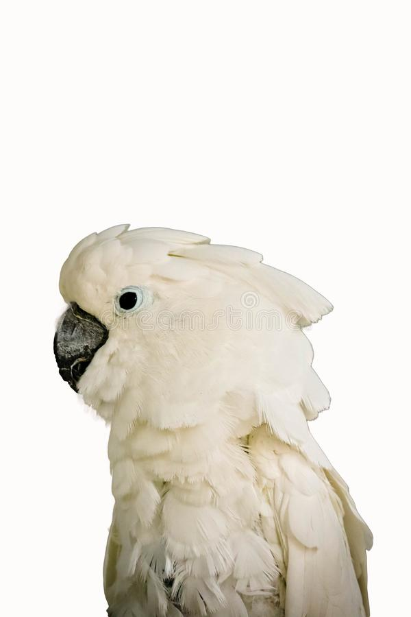 White -crested cockatoo isolated stock photos
