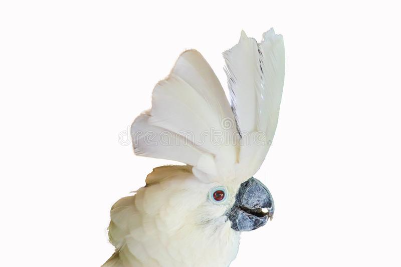 White -crested cockatoo isolated royalty free stock photo